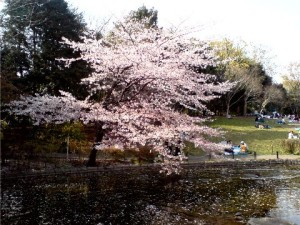 杉並区高円寺の花見スポット東高円寺蚕糸の森公園