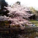 池沿いにあるピンクの桜の木