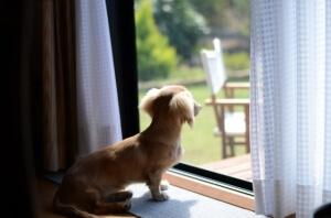 犬と白カーテン