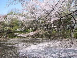 桜の木と桜の花びらが舞う