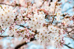 都内で満開の桜