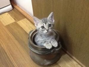 壺に入った灰色猫