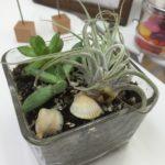 四角のガラスに入った観葉植物多肉植物と2つの白い貝
