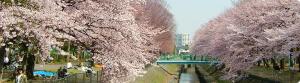 杉並区高円寺の花見スポット善福寺公園