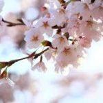 ピンクの桜と枝
